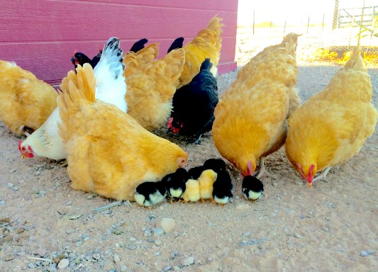 beginners guide to raising chickens