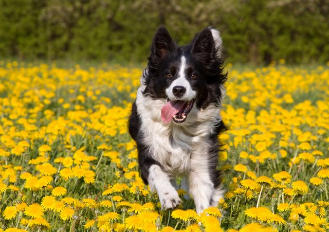 stubborn to obedient border collie owners guide