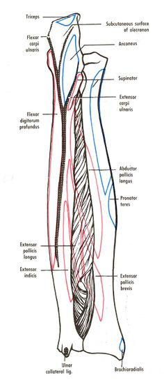 muscles of the body study guide